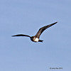 Parasitic Jaeger at Wisconsin Point- Sept 24, 2012