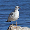 Ring-billed Gull at WI Point