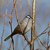 White-crowned Sparrow at Wisconsin Point -