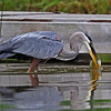 Great Blue Heron coming up with a  a Bluegill, Minong, WI 07-09-13