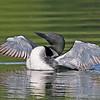 Common Loon 2015 N Twin Lake