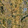 red shouldered hawk flies into the trees