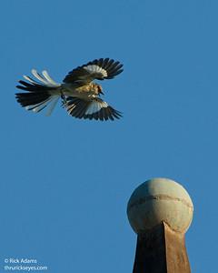 The Mockingbird Hop