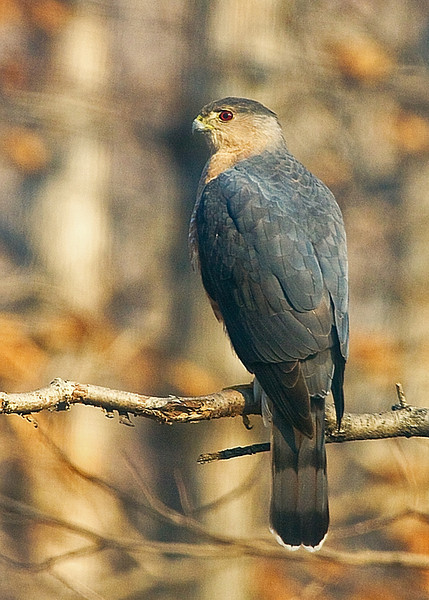 Early Morning Hawk Through a Dirty Car Window. As I suspected, roll the window down it flew. Oh Well, closest one has ever got to me yet, I parked and it flew in just at the same time. We both were interested in the squirrel at the feeder :) So anyway, just had to try and save the photo somehow. Is this a Cooper's Culprit?