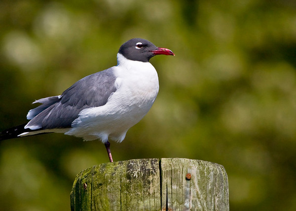 Laughing Gull on Pier