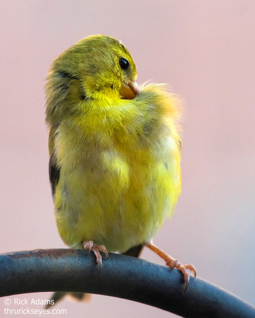 Female goldfinch preening