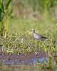 Lesser Yellowlegs at Merkle Wildlife Sanctuary, Patuxent River