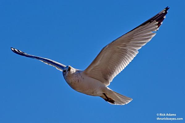 Gull checking his wingman