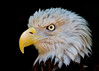 Liberty, an injured eagle at Busch Gardens, VA.