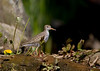 Spotted Sandpiper at Jug Bay Wetlands, Patuxent River