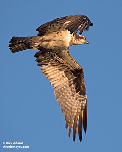 Osprey Buzzing the Photographer