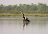 Double Crested Cormorant in the Patuxent River between the Patuxent Wetland Park and Jug Bay Wetlands