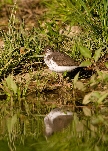 Spotted Sandpiper on the Patuxent River