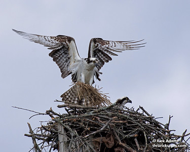 Ospreys Building a New Home