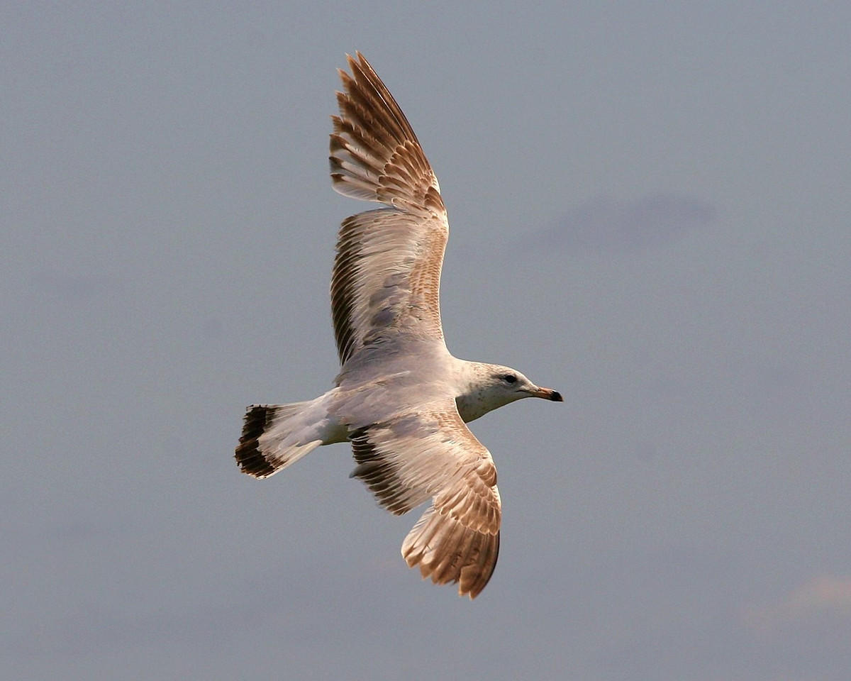 Ring Billed Seagull I think.