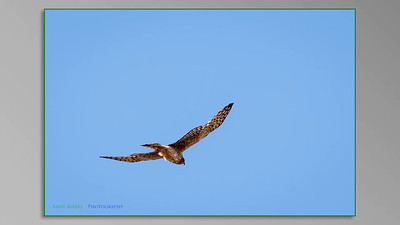 Northern Harrier Hawk: slide show