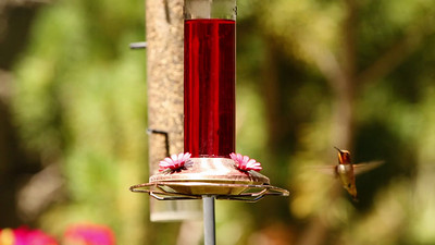 Hummingbird, backyard feeder
