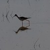 black-winged stilt - profile - fuente de piedra - 01_4591329807_o