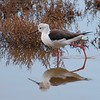 black-winged stilt - profile -  albufera - 26 oct_4591330427_o