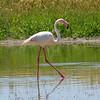 flamingo-profile-fuente de piedra-17 may 2010_4641817114_o