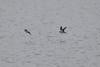 Common Sandpiper in flight Fewstone reservoir July 10 2011