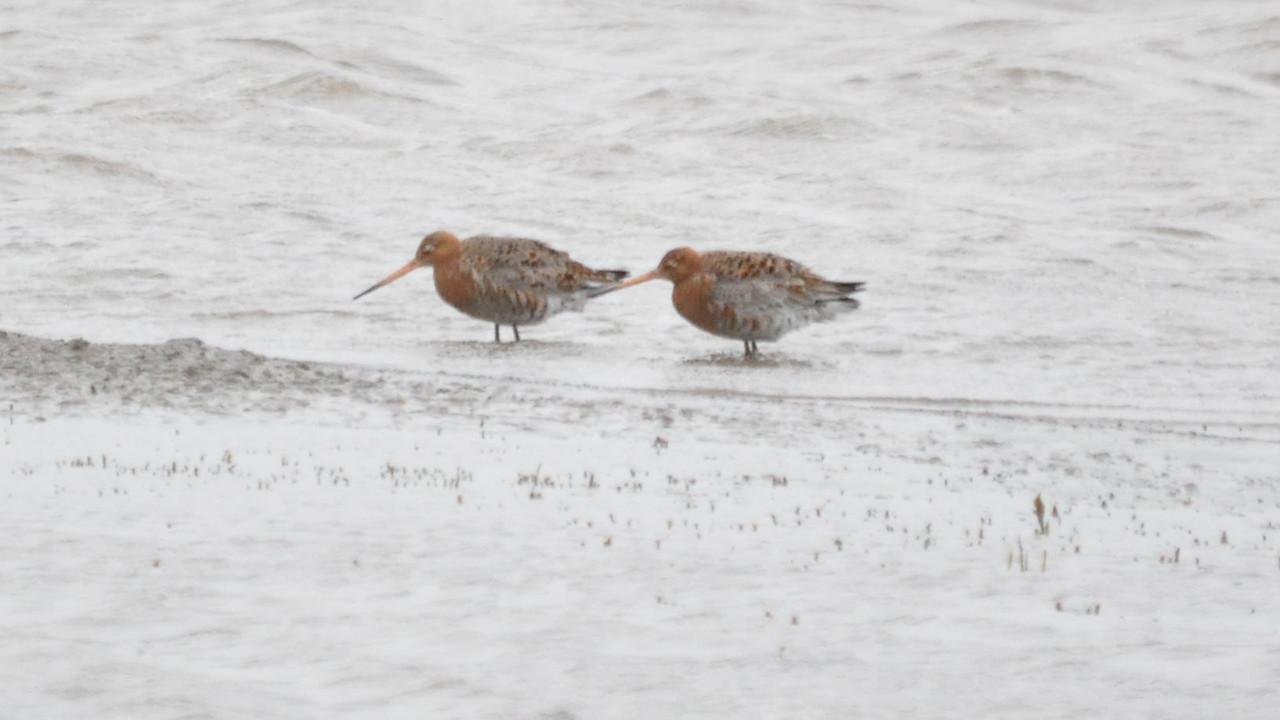 Godwit, Black Tailed