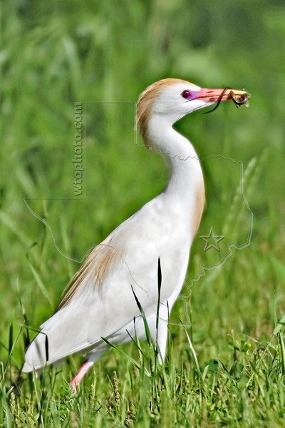 Cattle Egret, Eating Lizard,<br /> Brazos Bend State Park, Texas