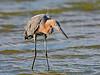 Reddish Egret, Hunting,<br /> Bolivar Flats