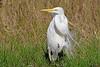 White Egret,<br /> San Louis Pass, Texas