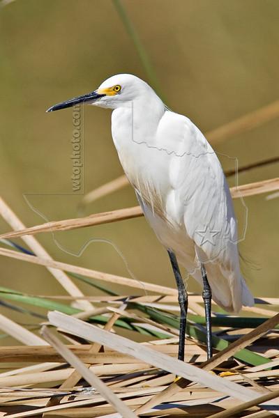 Snowy Egret,<br /> Brazoria National Wildlife Refuge, Texas