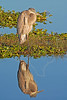 Great Blue Heron, Juvenile, Sunrise,<br /> Anahuac National Wildlife Refuge, Texas