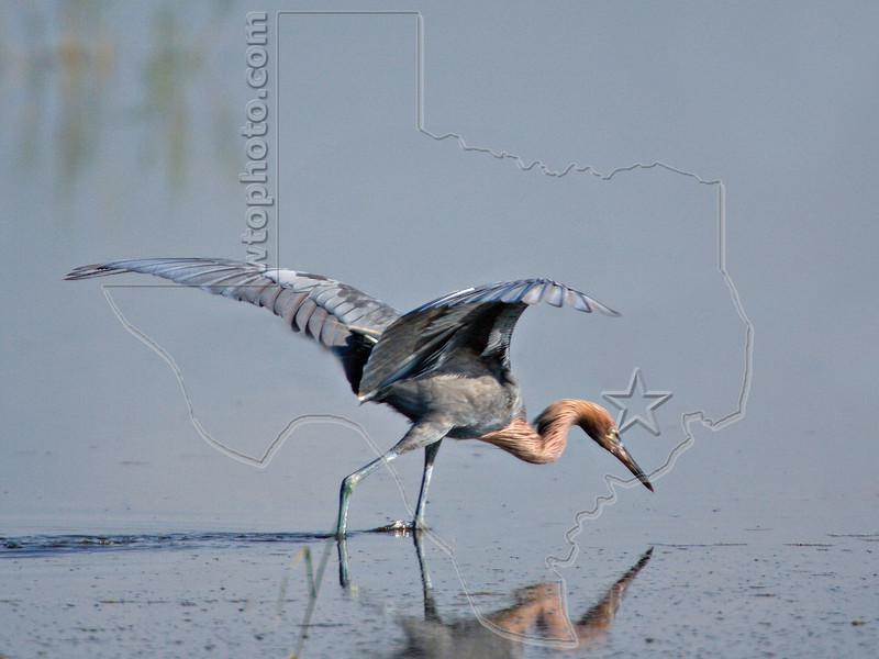 Reddish Egret,<br /> Brazoria National Wildlife Refuge, Texas