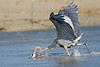 Great Blue Heron, Hunting,<br /> East Beach, Galveston, Texas