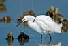 Snowy Egret, Eating Shrimp,<br /> East Beach, Galveston, Texas