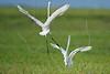 White Egrets, Territorial Dispute,<br /> Brazoria National Wildlife Refuge, Texas
