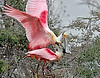 Roseate Spoonbills,<br /> Smith Woods, High Island, Texas