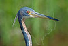 Tricolored Heron Portrait,<br /> Bolivar Flats, Texas
