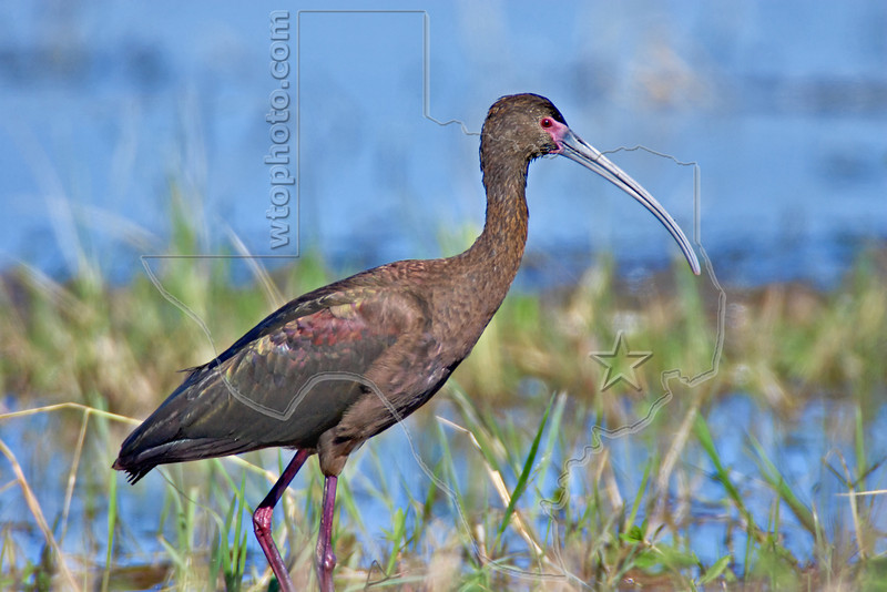 White-faced Ibis<br /> Anahuac National Wildlife Refuge, Texas