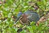 Green Heron, Feeding,<br /> Brazos Bend State Park, Texas