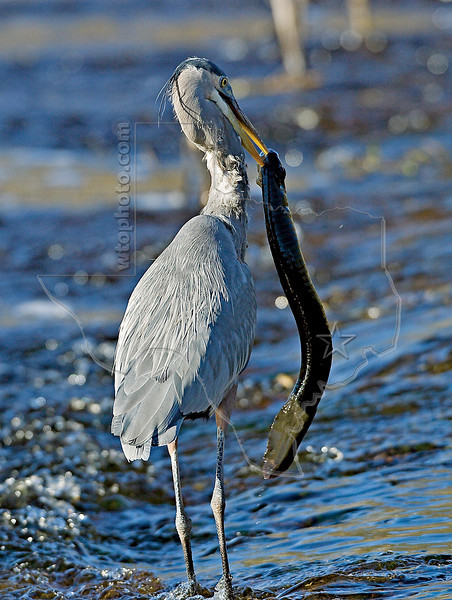 Great Blue Heron Spears Western Lesser Siren,<br /> Brazos Bend State Park, Texas