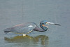 Tricolored Heron,<br /> San Bernard National Wildlife Refuge, Texas