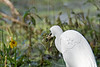 Little Blue Heron, Juvenile, Eating Frog<br /> Brazos Bend State Park, Texas