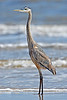 Great Blue Heron, Juvenile, Gulf of Mexico<br /> San Louis Pass, Texas