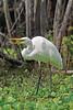White Egret, Eating Fish,<br /> Brazos Bend State Park, Texas