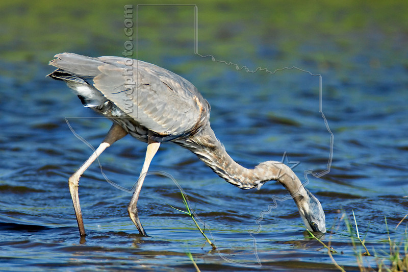 Great Blue Heron, Juvenile,<br /> Brazoria National Wildlife Refuge, Texas