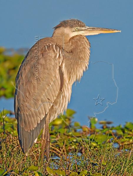Great Blue Heron, Juvenile, Sunrise,<br /> Anahuac National Wildlife Refuge, Texas