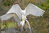 White Egrets, Mating,<br /> Smith Woods, High Island, Texas
