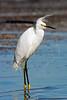 Snowy Egret, Bad Hair Day,<br /> Bolivar Flats, Texas