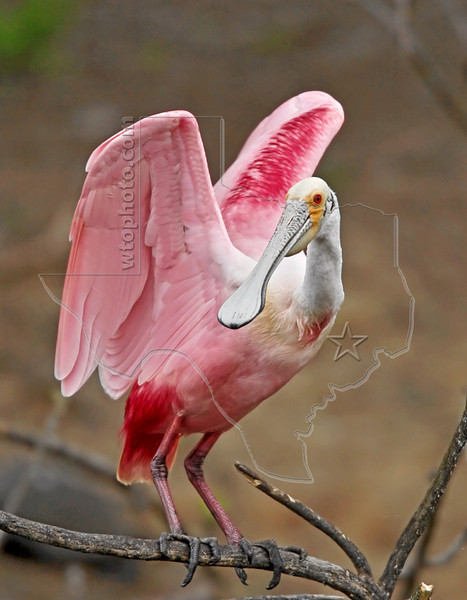 Roseate Spoonbill,<br /> Smith Woods, High Island, Texas