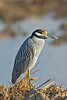 Yellow-crowned Night Heron,<br /> Brazoria National Wildlife Refuge, Texas